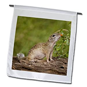 Danita Delimont - Squirrels - Texas, Rio Grande Valley, Mexican ground squirrel - US44 BJA0187 - Jaynes Gallery - 12 x 18 inch Garden Flag (fl_94418_1)