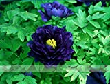 (Jpw @No1) 5 Seeds / Pack, Dark Blue Tree Peony Flower Seeds Rere Plants