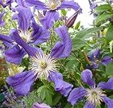 Clematis diversifolia 'Blue Pirouette'