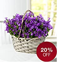 Campanula Basket