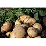 SCOTTISH SEED POTATOES - PENTLAND JAVELIN (FIRST EARLY) - 2.5 KG