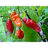 Bhut Jolokia Chile Pepper - Ghost Pepper - World's Hottest Chile Pepper