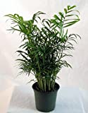 "Hirts Victorian Parlor Palm - Chamaedorea - Indestructable - 4"" Pot"