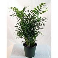 Hirt's Victorian Parlor Palm - Chamaedorea elegans - Indestructable