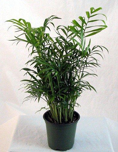 Hirt's Victorian Parlor Palm - Chamaedorea - Indestructable