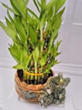 jmbamboo-Three Tiered Lucky Bamboo Arrangement Elephant Vase Favor
