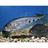 (熱帯魚・古代魚)スポッテッドナイフ 7cm± 3匹
