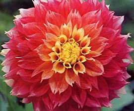 Kogana Fubuki Decorative Dahlia - 2 Tubers - 30 Flowers