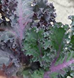 Kale Olympic Red D3267 (Green and Purple) 100 Organic Seeds by David's Garden Seeds