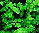 """Mini Oakleaf Creeping Fig - Terrarium/Topiary/HousePlant/Fairy Garden - 3"""" Pot"""