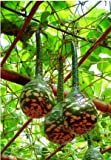 SD0562 Green Swan Shape Gourds Seeds, High Germinating Seeds, 60-Days Money Back Guarantee (5 Seeds)