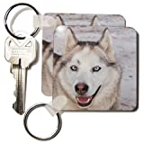 51 gzytrDBL. SL160  Arctic Sledding Dog Grey, Churchill Manitoba Canada.   Set Of 4 Key Chains