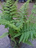 Lace Fern -- 6 by 6 Inch Container Plant