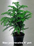 Norfolk Island Pine - The Indoor Christmas Tree - 4