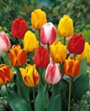 Tequila Sunrise Tulip - 10 Bulbs - Colorful Mix - 12/+ cm Bulbs
