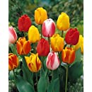 Tequila Sunrise Tulip - 10 Bulbs - Colorful Mix - 12/+ cm Bulbs