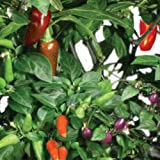 AeroGarden AERO509 - Chili Pepper Seed Kit - Includes 2 Jalapeno Pepper 2 Red Fire and 3 Purple Super Hot Seed Pods - AERO509