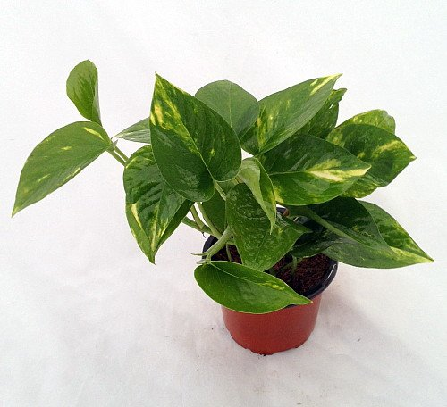 "Hirt's Golden Devil's Ivy - Pothos - Epipremnum - 4"" Pot - Very Easy to Grow"