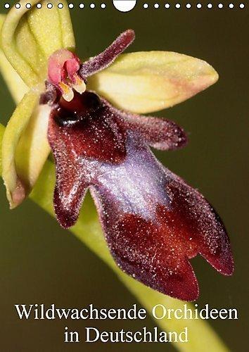 wildwachsende-orchideen-in-deutschland-wandkalender-2017-din-a4-hoch-einheimische-orchideen-werden-i