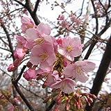 桜[サクラ・カンヒザクラ系]:河津桜[カワヅザクラ]接木苗4?5号ポット
