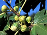 Panche Tiger Stripe Edible Fig Plant - Sweet - 4