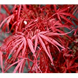 RED CLOUD JAPANESE MAPLE - Acer palmatum 'Red Cloud' 1 - Year Tree