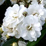 ROSE RAMBLING RECTOR-Ideal Birthday Flower & Gift For Mum,Mom,Dad,Father,Grandad,Grandma,Him,Her