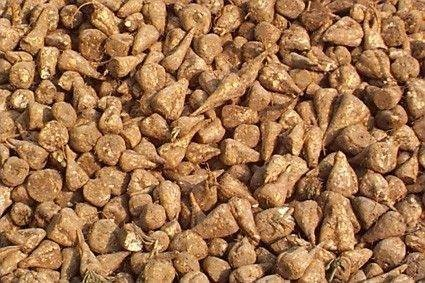 Premium Sugar Beets 1000 Seeds for Deer Food Plots Excellent Product By Old Cobblers Farm