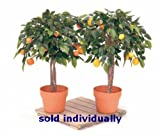 Mini Orange Tree - 60cm, Green