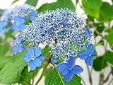 【6か月枯れ保証】【春に花が咲く木】ヤマアジサイ