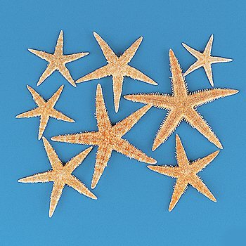 Real Starfish (30 Pieces)
