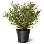 National Tree 24 Inch Argentea Plant in Round Green Plastic Pot (LAR4-700-24-1)