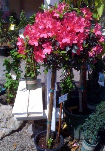 Brilliant Azalea Topiary Patio Tree Five Gallon