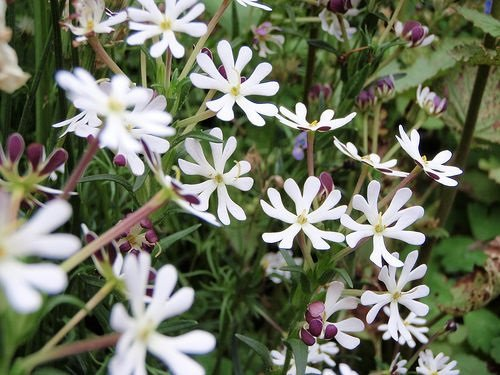 25+ Fragrant Midnight Candy Evening Phlox Flower Seeds Mix / Re-seeding Annual