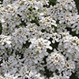 Wildflower - Wild Candytuft - 1000 Seeds