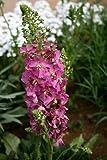 Verbascum Phoeniceum Rossetta, wildlife plant