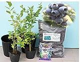 [初心者おすすめ]プロにお任せブルーベリー苗木栽培6点セット(13.5cmポット樹高0.5m前後の苗x2+ブルーベリー専用土+21cmポット+肥料)