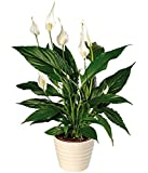 Peace lily (Spathiphyllum) 50 Seeds Indoor Air Purification Plant for Home or Office