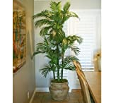 TWO Pre-Potted 6′ Artificial King Areca Palm Trees