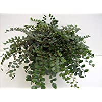 Hirt's Button Fern - Pellaea rotundifolia - Unusual, Easy to Grow - 4