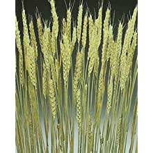 Green Floral Crafts Dried & Preserved Rye - Variety