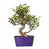 Exotic Green Indoor Plant 6 Year Old S Shape Ficus Bonsai In Purple Metal Pot
