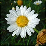 Package of 500 Seeds, Roman Chamomile (Anthemus nobilis) Non-GMO Seeds By Seed Needs