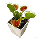Venus Flytrap Carnivorous Plant Seeds / Dionaea Muscipula, Red Mouth (100 Seeds)