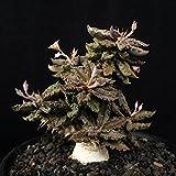 【多肉植物/種子】Euphorbia Tulearensis★ユーフォルビア・トゥレアレンシス◎最も希少な小型塊根種♪ [並行輸入品]