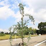庭木:銀葉アカシア(ミモザ)プルプレア H:約150cm