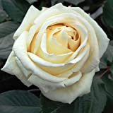 Silver Anniversary Hybrid Tea Rose - Potted Rose Rosa - Gift Present