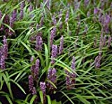 Lilyturf 10 Seeds- Liriope muscari - Shade Perennial