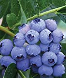 1 Patriot Blueberry Plant - 2 Year All Natural Grown - Ready for Fall Planting