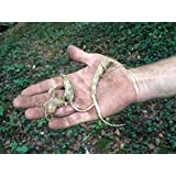 ** 7 AMERICAN GINSENG SEEDS ** ENERGIZE!!! #1072